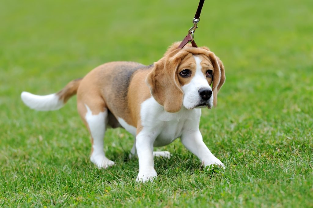 Why Are Beagles So Naughty Mypetzone